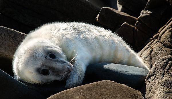 White Seal Pup