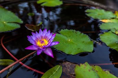 Purple lotus flower opened
