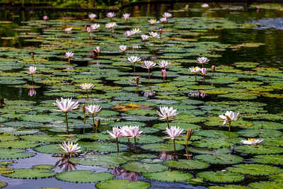 Lotus flowers and waterlily