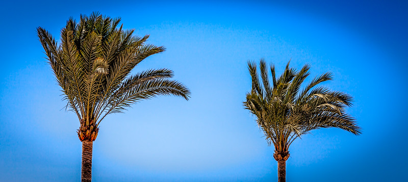 Palm trees under the wind
