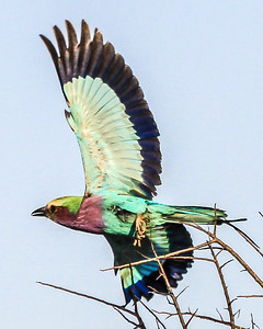 Lilac Breasted Roller ~ Kruger National Park, South Africa
