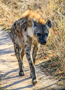 Hyena ~ Kruger National Park, South Africa
