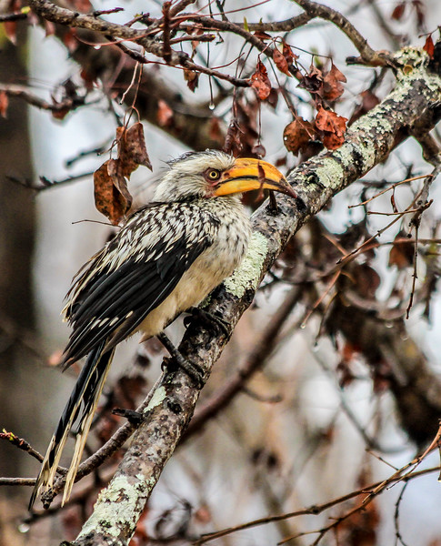 Southern Yellow-billed Hornbill ~ Kruger National Park, South Africa