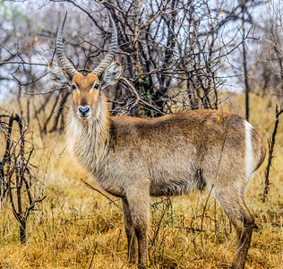 Waterbuck ~ Kruger National Park, South Africa