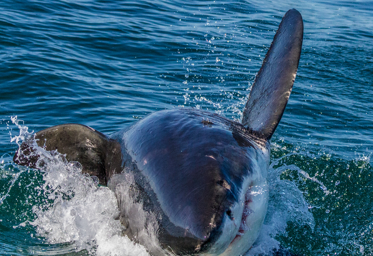 Great White Shark ~ Seal Island ~ Cape Town, South Africa