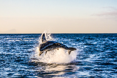 Great White Shark breeching ~ Seal Island ~ Cape Town, South Africa