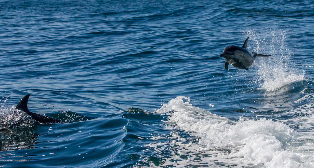 Jumping Dolphins ~ Cape Town, South Africa