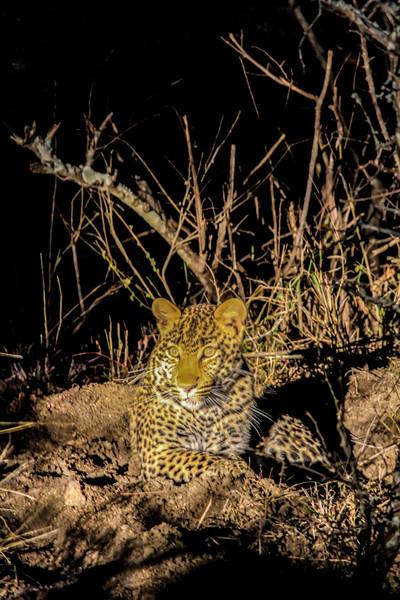 Leopard ~ Nighttime Safari ~  Kruger National Park, South Africa