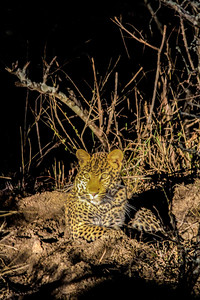 Leopard ~ Nighttime Safari ~  Kruger National Park, South Africa