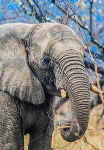 Elephant ~ South Africa