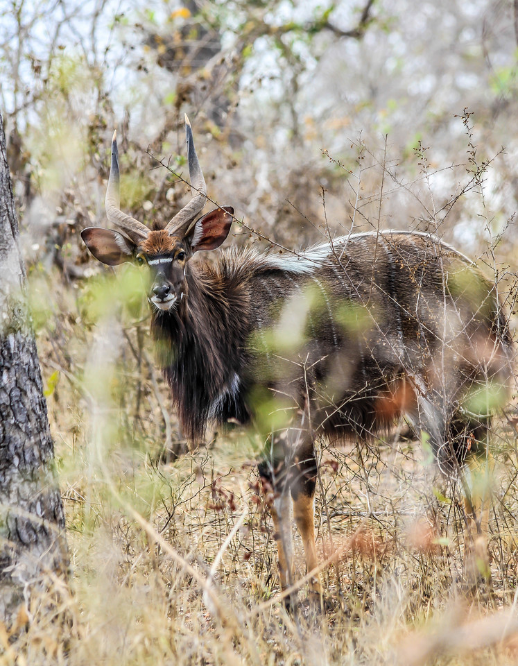 Kudu ~ Kruger National Park, South Africa