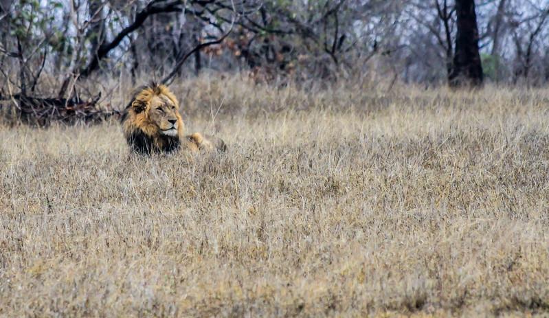 Male Lion ~ Kruger National Park, South Africa