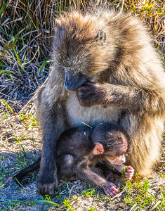 Mama Baboon w/ Baby Baboon ~ Cape Town, South Africa