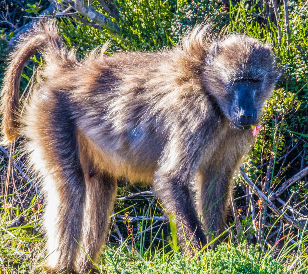 Baboon ~ Cape Town, South Africa