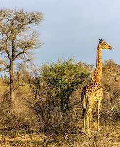 Giraffe ~ Kruger National Park, South Africa