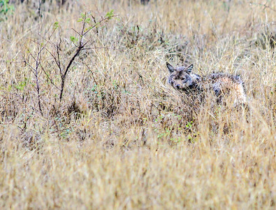 Jackal ~ Kruger National Park, South Africa