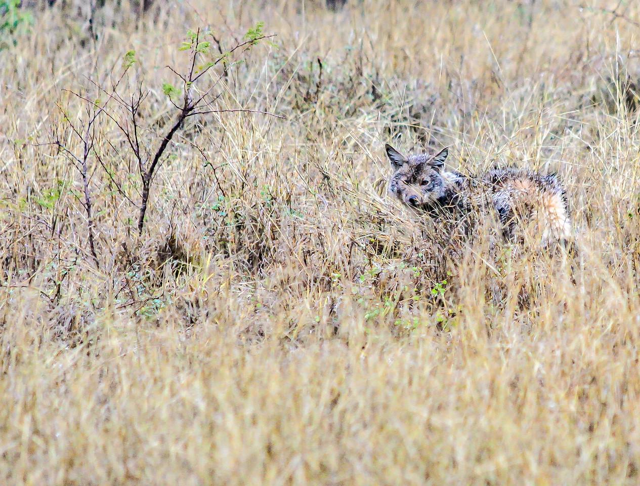 Jackal ~ Kruger National Park, South Africa