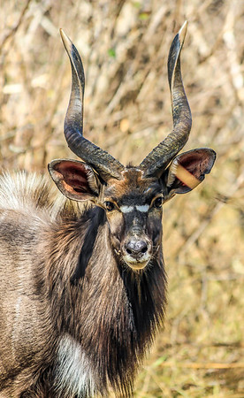 Nyala ~ Kruger National Park, South Africa