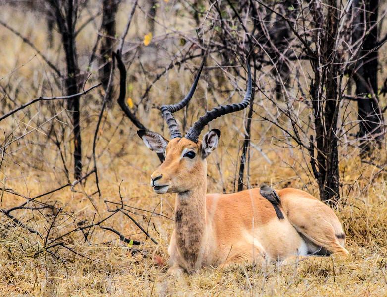 Springbok ~ Kruger National Park, South Africa