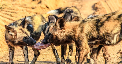 Wild Dogs feasting on an Impala ~ Kruger National Park, South Africa