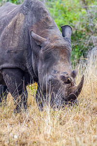 Mama Rhino ~ Kruger National Park, South Africa