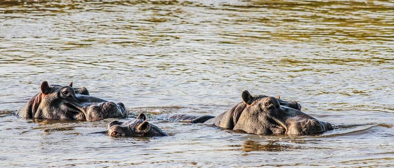 Hippos ~ Kruger National Park, South Africa