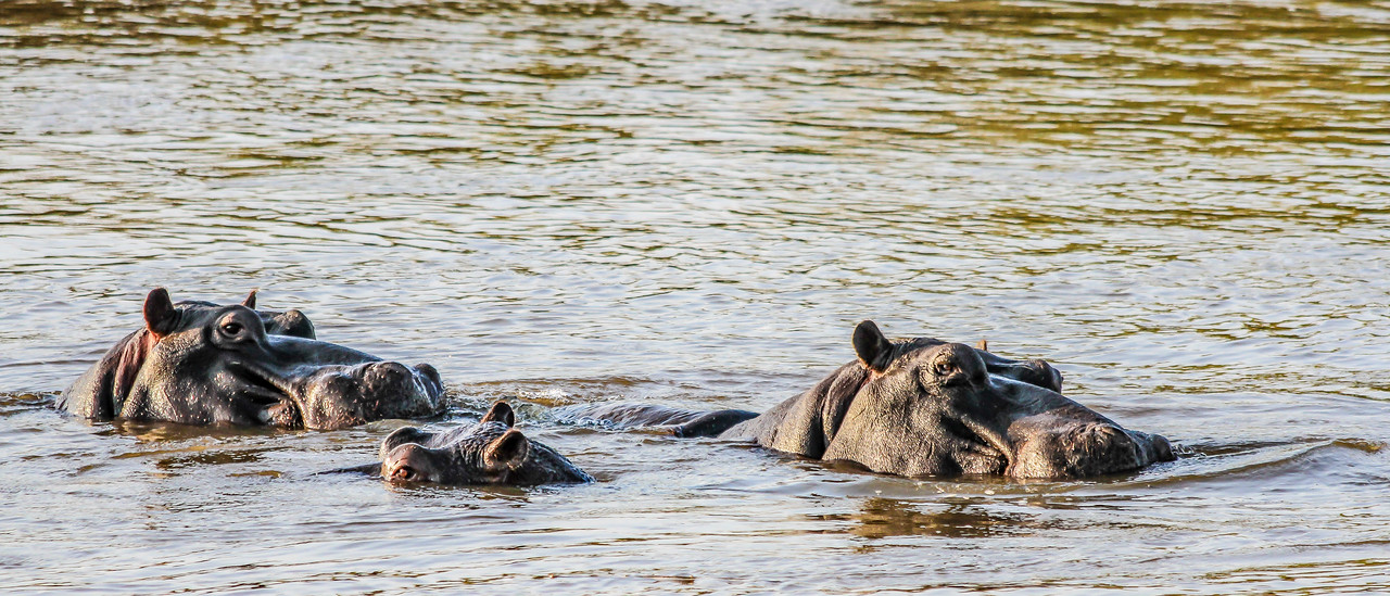 Hippos ~ Kruger National Park, South Africa