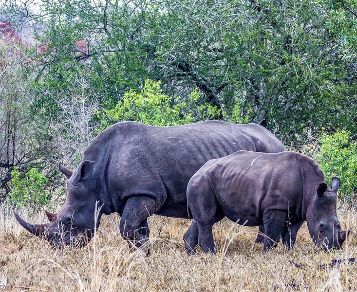 Mama & Baby Rhinos ~ Kruger National Park, South Africa