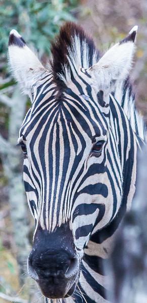 Zebra ~ Kruger National Park, South Africa