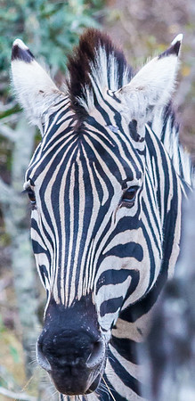 Zebra ~ Kruger National Park, South Africa
