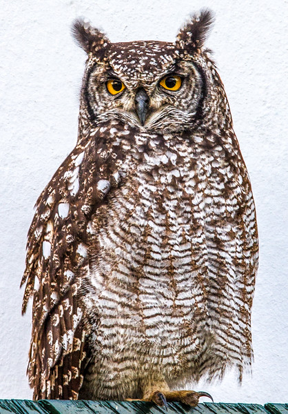 Owl ~ Franschhoek, Cape Town region, South Africa