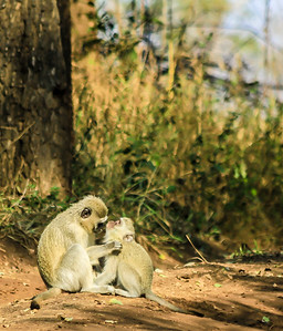 Vervet Monkeys ~ Kruger National Park, South Africa
