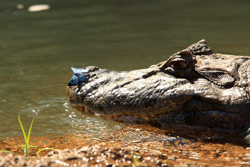 Butterfly on Caiman!