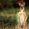 Eastern Gray Kangaroo, Wilson's Promontory National Park, Australia