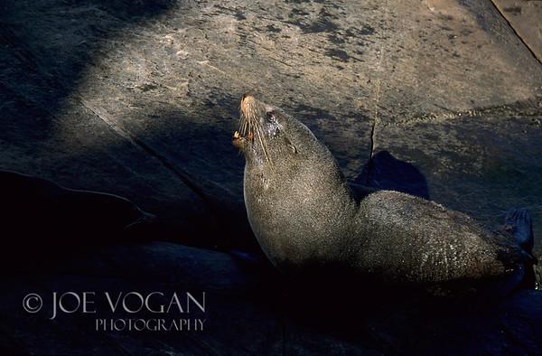 New Zealand Fur Seal, Cape du Couedic, South Australia