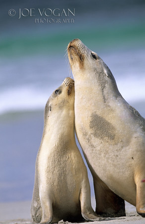 Australian Sea Lion and pup, Kangaroo Island, Australia