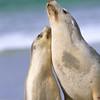 Australian Sea Lion and pup, Kangaroo Island, Australia