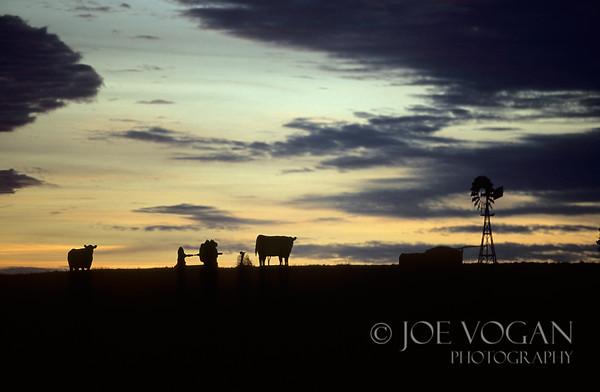 Cows at Sunrise, Peterborough, Australia