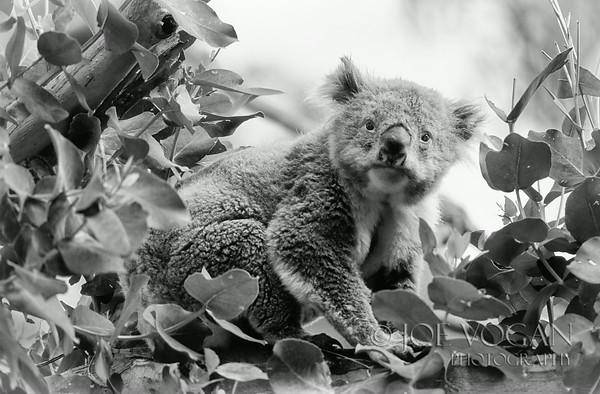 Koala, Great Ocean Road, Southern Australia