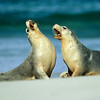 Australian Sea Lions, Kangaroo Island, Australia