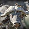 Cape Buffalo, Okavango Delta, Botswana