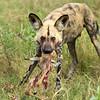 Wild Dog, Linyanti area, Botswana
