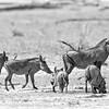 Warthogs, Linyanti, Botswana