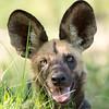 Wild Dog Pup, Linyanti area, Botswana