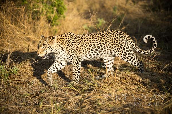 Leopard, Okavango Delta, Botswana