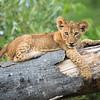 African Lion Cub, Okavango Delta, Botswana