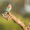 Lilac-breasted Roller, Okavango Delta, Botswana