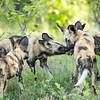 Wild Dogs, Linyanti area, Botswana