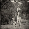 Southern Giraffes, Okavango Delta, Botswana