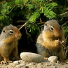 Columbian Ground Squirrels, Banff National Park, Alberta, Canada